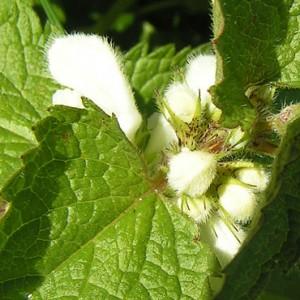 Fleur de l'ortie blanche